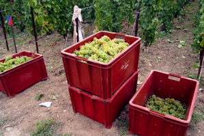 Grapes harvested for Roederer.